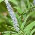 Amarai (Aphidoidea) | Fotografijos autorius : Aleksandras Naryškin | © Macrogamta.lt | Šis tinklapis priklauso bendruomenei kuri domisi makro fotografija ir fotografuoja gyvąjį makro pasaulį.