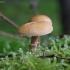 Amiantinė šlakabudė - Cystoderma amianthinum | Fotografijos autorius : Vytautas Gluoksnis | © Macrogamta.lt | Šis tinklapis priklauso bendruomenei kuri domisi makro fotografija ir fotografuoja gyvąjį makro pasaulį.