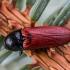 Pušinis kelmaspragšis - Ampedus sanguineus | Fotografijos autorius : Oskaras Venckus | © Macrogamta.lt | Šis tinklapis priklauso bendruomenei kuri domisi makro fotografija ir fotografuoja gyvąjį makro pasaulį.