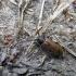 Rudasis karklenis - Anaesthetis testacea (Fabricius, 1781)   Fotografijos autorius : Vitalii Alekseev   © Macrogamta.lt   Šis tinklapis priklauso bendruomenei kuri domisi makro fotografija ir fotografuoja gyvąjį makro pasaulį.