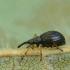 Apionas - Protapion fulvipes | Fotografijos autorius : Vidas Brazauskas | © Macrogamta.lt | Šis tinklapis priklauso bendruomenei kuri domisi makro fotografija ir fotografuoja gyvąjį makro pasaulį.