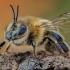 Naminė bitė - Apis mellifera | Fotografijos autorius : Eugenijus Kavaliauskas | © Macrogamta.lt | Šis tinklapis priklauso bendruomenei kuri domisi makro fotografija ir fotografuoja gyvąjį makro pasaulį.