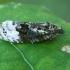 Didysis apotomis - Apotomis turbidana | Fotografijos autorius : Gintautas Steiblys | © Macrogamta.lt | Šis tinklapis priklauso bendruomenei kuri domisi makro fotografija ir fotografuoja gyvąjį makro pasaulį.