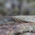 Apsiuva - Agrypnia pagetana ♀ | Fotografijos autorius : Žilvinas Pūtys | © Macrogamta.lt | Šis tinklapis priklauso bendruomenei kuri domisi makro fotografija ir fotografuoja gyvąjį makro pasaulį.