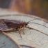 Apsiuva - Chaetopteryx villosa | Fotografijos autorius : Žilvinas Pūtys | © Macrogamta.lt | Šis tinklapis priklauso bendruomenei kuri domisi makro fotografija ir fotografuoja gyvąjį makro pasaulį.
