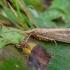 Apsiuva - Grammotaulius nigropunctatus ♂ | Fotografijos autorius : Žilvinas Pūtys | © Macrogamta.lt | Šis tinklapis priklauso bendruomenei kuri domisi makro fotografija ir fotografuoja gyvąjį makro pasaulį.