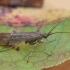 Apsiuva - Limnephilus affinis ♂ | Fotografijos autorius : Žilvinas Pūtys | © Macrogamta.lt | Šis tinklapis priklauso bendruomenei kuri domisi makro fotografija ir fotografuoja gyvąjį makro pasaulį.
