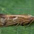 Apsiuva - Limnephilus binotatus ♀ | Fotografijos autorius : Žilvinas Pūtys | © Macrogamta.lt | Šis tinklapis priklauso bendruomenei kuri domisi makro fotografija ir fotografuoja gyvąjį makro pasaulį.