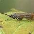 Apsiuva - Limnephilus griseus ♂ | Fotografijos autorius : Gintautas Steiblys | © Macrogamta.lt | Šis tinklapis priklauso bendruomenei kuri domisi makro fotografija ir fotografuoja gyvąjį makro pasaulį.