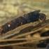 Apsiuvos lerva   Fotografijos autorius : Gintautas Steiblys   © Macrogamta.lt   Šis tinklapis priklauso bendruomenei kuri domisi makro fotografija ir fotografuoja gyvąjį makro pasaulį.