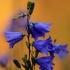 Apskritalapis katilėlis - Campanula rotundifolia   Fotografijos autorius : Ramunė Vakarė   © Macrogamta.lt   Šis tinklapis priklauso bendruomenei kuri domisi makro fotografija ir fotografuoja gyvąjį makro pasaulį.