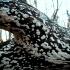 Apskritasis dantplutis -  Xylodon radula | Fotografijos autorius : Aleksandras Stabrauskas | © Macrogamta.lt | Šis tinklapis priklauso bendruomenei kuri domisi makro fotografija ir fotografuoja gyvąjį makro pasaulį.