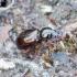 Arktinis žygis - Miscodera arctica | Fotografijos autorius : Romas Ferenca | © Macrogamta.lt | Šis tinklapis priklauso bendruomenei kuri domisi makro fotografija ir fotografuoja gyvąjį makro pasaulį.