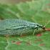 Auksaakė - Chrysopa dorsalis | Fotografijos autorius : Gintautas Steiblys | © Macrogamta.lt | Šis tinklapis priklauso bendruomenei kuri domisi makro fotografija ir fotografuoja gyvąjį makro pasaulį.