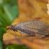 Auksaakė - Nothochrysa capitata | Fotografijos autorius : Žilvinas Pūtys | © Macrogamta.lt | Šis tinklapis priklauso bendruomenei kuri domisi makro fotografija ir fotografuoja gyvąjį makro pasaulį.
