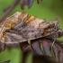 Auksadėmis žvilgūnas - Lamprotes c-aureum | Fotografijos autorius : Žilvinas Pūtys | © Macrogamta.lt | Šis tinklapis priklauso bendruomenei kuri domisi makro fotografija ir fotografuoja gyvąjį makro pasaulį.