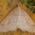 Auksasprindis - Agriopis aurantiaria ♂ | Fotografijos autorius : Žilvinas Pūtys | © Macrogamta.lt | Šis tinklapis priklauso bendruomenei kuri domisi makro fotografija ir fotografuoja gyvąjį makro pasaulį.