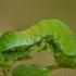 Avietinis pelėdgalvis - Euplexia lucipara, vikšras | Fotografijos autorius : Žilvinas Pūtys | © Macrogamta.lt | Šis tinklapis priklauso bendruomenei kuri domisi makro fotografija ir fotografuoja gyvąjį makro pasaulį.
