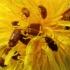 Avietinukas - Byturus ochraceus | Fotografijos autorius : Ramunė Vakarė | © Macrogamta.lt | Šis tinklapis priklauso bendruomenei kuri domisi makro fotografija ir fotografuoja gyvąjį makro pasaulį.