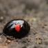Juodbruvėlė boružė - Chilocorus renipustulatus | Fotografijos autorius : Ramunė Vakarė | © Macrogamta.lt | Šis tinklapis priklauso bendruomenei kuri domisi makro fotografija ir fotografuoja gyvąjį makro pasaulį.
