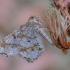 Balsvasis miškasprindis - Macaria notata | Fotografijos autorius : Arūnas Eismantas | © Macrogamta.lt | Šis tinklapis priklauso bendruomenei kuri domisi makro fotografija ir fotografuoja gyvąjį makro pasaulį.