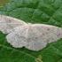Balsvasis taškasprindis - Cyclophora albipunctata | Fotografijos autorius : Gintautas Steiblys | © Macrogamta.lt | Šis tinklapis priklauso bendruomenei kuri domisi makro fotografija ir fotografuoja gyvąjį makro pasaulį.