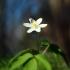Baltažiedė plukė - Anemonoides nemorosa | Fotografijos autorius : Vidas Brazauskas | © Macrogamta.lt | Šis tinklapis priklauso bendruomenei kuri domisi makro fotografija ir fotografuoja gyvąjį makro pasaulį.