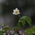 Baltažiedė plukė - Anemonoides nemorosa   Fotografijos autorius : Agnė Našlėnienė   © Macrogamta.lt   Šis tinklapis priklauso bendruomenei kuri domisi makro fotografija ir fotografuoja gyvąjį makro pasaulį.