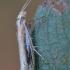 Baltadėmė šydinė kandis - Ypsolopha parenthesella | Fotografijos autorius : Arūnas Eismantas | © Macrogamta.lt | Šis tinklapis priklauso bendruomenei kuri domisi makro fotografija ir fotografuoja gyvąjį makro pasaulį.