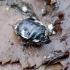 Baltadėmė urvablakė - Tritomegas bicolor | Fotografijos autorius : Romas Ferenca | © Macrogamta.lt | Šis tinklapis priklauso bendruomenei kuri domisi makro fotografija ir fotografuoja gyvąjį makro pasaulį.