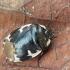 Baltadėmė urvablakė - Tritomegas bicolor | Fotografijos autorius : Vidas Brazauskas | © Macrogamta.lt | Šis tinklapis priklauso bendruomenei kuri domisi makro fotografija ir fotografuoja gyvąjį makro pasaulį.