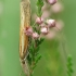 Baltajuostė agrifila - Agriphila selasella | Fotografijos autorius : Vidas Brazauskas | © Macrogamta.lt | Šis tinklapis priklauso bendruomenei kuri domisi makro fotografija ir fotografuoja gyvąjį makro pasaulį.