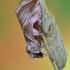 Baltajuostė eukarta - Eucarta virgo   Fotografijos autorius : Arūnas Eismantas   © Macrogamta.lt   Šis tinklapis priklauso bendruomenei kuri domisi makro fotografija ir fotografuoja gyvąjį makro pasaulį.