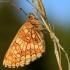 Paprastoji šaškytė - Melitaea athalia | Fotografijos autorius : Ramunė Vakarė | © Macrogamta.lt | Šis tinklapis priklauso bendruomenei kuri domisi makro fotografija ir fotografuoja gyvąjį makro pasaulį.