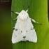 Baltasis strėlinukas - Acronicta leporina   Fotografijos autorius : Žilvinas Pūtys   © Macrogamta.lt   Šis tinklapis priklauso bendruomenei kuri domisi makro fotografija ir fotografuoja gyvąjį makro pasaulį.
