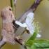 Baltasparnis ankstyvasis pelėdgalvis - Orthosia miniosa   Fotografijos autorius : Arūnas Eismantas   © Macrogamta.lt   Šis tinklapis priklauso bendruomenei kuri domisi makro fotografija ir fotografuoja gyvąjį makro pasaulį.