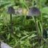 Baltasultė šalmabudė - Mycena galopus var. nigra | Fotografijos autorius : Vytautas Gluoksnis | © Macrogamta.lt | Šis tinklapis priklauso bendruomenei kuri domisi makro fotografija ir fotografuoja gyvąjį makro pasaulį.