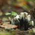 Baltaviršūnis elniagrybis - Xylaria hypoxylon | Fotografijos autorius : Vidas Brazauskas | © Macrogamta.lt | Šis tinklapis priklauso bendruomenei kuri domisi makro fotografija ir fotografuoja gyvąjį makro pasaulį.