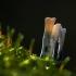 Baltaviršūnis elniagrybis -Xylaria hypoxylon | Fotografijos autorius : Irenėjas Urbonavičius | © Macrogamta.lt | Šis tinklapis priklauso bendruomenei kuri domisi makro fotografija ir fotografuoja gyvąjį makro pasaulį.