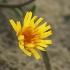 Rudeninė snaudalė - Scorzoneroides autumnalis | Fotografijos autorius : Gintautas Steiblys | © Macrogamta.lt | Šis tinklapis priklauso bendruomenei kuri domisi makro fotografija ir fotografuoja gyvąjį makro pasaulį.