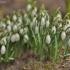 Baltoji snieguolė - Galanthus nivalis   Fotografijos autorius : Kęstutis Obelevičius   © Macrogamta.lt   Šis tinklapis priklauso bendruomenei kuri domisi makro fotografija ir fotografuoja gyvąjį makro pasaulį.