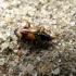 Barzdukžygis - Ocydromus cruciatus | Fotografijos autorius : Vitalii Alekseev | © Macrogamta.lt | Šis tinklapis priklauso bendruomenei kuri domisi makro fotografija ir fotografuoja gyvąjį makro pasaulį.