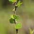 Beržas keružis - Betula nana | Fotografijos autorius : Gintautas Steiblys | © Macrogamta.lt | Šis tinklapis priklauso bendruomenei kuri domisi makro fotografija ir fotografuoja gyvąjį makro pasaulį.