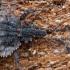 Beržinė žieviablakė - Aradus betulae ♀ | Fotografijos autorius : Žilvinas Pūtys | © Macrogamta.lt | Šis tinklapis priklauso bendruomenei kuri domisi makro fotografija ir fotografuoja gyvąjį makro pasaulį.