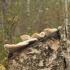 Beržinė lakštapintė - Lenzites betulina | Fotografijos autorius : Vytautas Gluoksnis | © Macrogamta.lt | Šis tinklapis priklauso bendruomenei kuri domisi makro fotografija ir fotografuoja gyvąjį makro pasaulį.