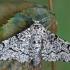 Beržinis šeriasprindis - Biston betularia | Fotografijos autorius : Gintautas Steiblys | © Macrogamta.lt | Šis tinklapis priklauso bendruomenei kuri domisi makro fotografija ir fotografuoja gyvąjį makro pasaulį.