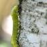 Beržinis cimbeksas - Cimbex femoratus | Fotografijos autorius : Kazimieras Martinaitis | © Macrogamta.lt | Šis tinklapis priklauso bendruomenei kuri domisi makro fotografija ir fotografuoja gyvąjį makro pasaulį.