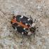 Bervidinis kailiavabalis - Anthrenus scrophulariae   Fotografijos autorius : Kazimieras Martinaitis   © Macrogamta.lt   Šis tinklapis priklauso bendruomenei kuri domisi makro fotografija ir fotografuoja gyvąjį makro pasaulį.