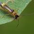 Besotis minkštavabalis - Malthinus punctatus | Fotografijos autorius : Gintautas Steiblys | © Macrogamta.lt | Šis tinklapis priklauso bendruomenei kuri domisi makro fotografija ir fotografuoja gyvąjį makro pasaulį.