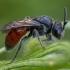 Bitė - Sphecodes ephippius ♀ | Fotografijos autorius : Žilvinas Pūtys | © Macrogamta.lt | Šis tinklapis priklauso bendruomenei kuri domisi makro fotografija ir fotografuoja gyvąjį makro pasaulį.
